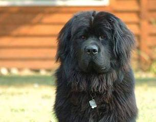 Rockmere Newfoundlands - Dog Breeders
