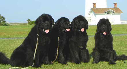 Rockmere Newfoundlands - Dog Breeders