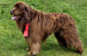Sierra View Newfoundlands - Dog Breeders