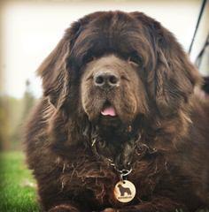 Moose Peak Newfoundlands - Dog Breeders