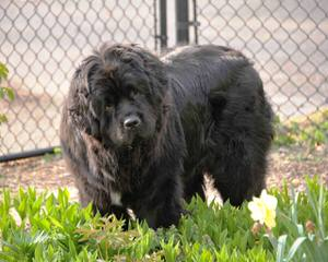 Voyager Newfoundlands - Dog Breeders