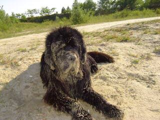 Greatbasin Newfoundlands - Dog Breeders