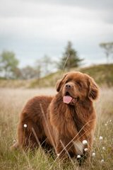 Babyboomers Newfoundland Dogs - Dog Breeders