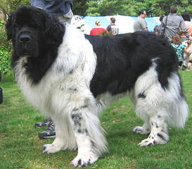 Voyager Newfoundlands - Dog Breeders