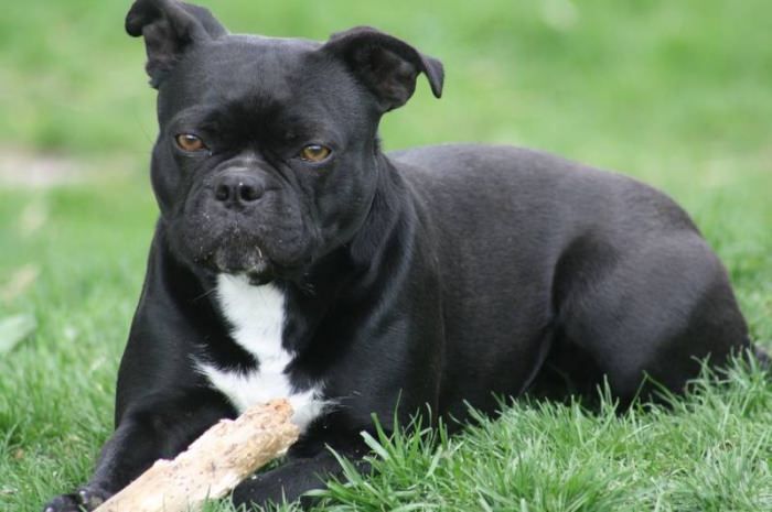 Olde Boston Bulldogge Dogs and Puppies
