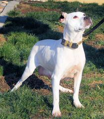 Olde Boston Bulldogs - Dog Breeders