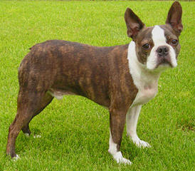 Noble Boston Bulldogges - Dog and Puppy Pictures