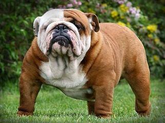 Noble Boston Bulldogges - Dog Breeders
