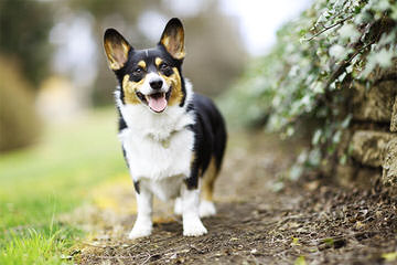 SSRpembroke Welsh corgis - Dog Breeders