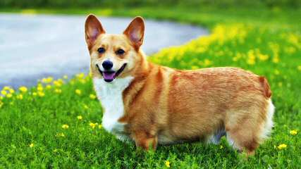 Pembroke Welsh Corgis - Dog and Puppy Pictures
