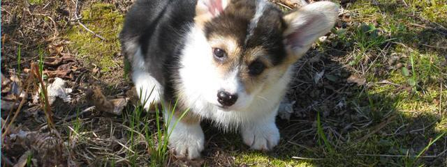 Pembroke Bitch - Dog Breeders