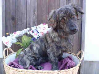 SSRpembroke Welsh corgis - Dog Breeders