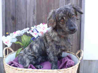 Pem Starr Corgis - Dog Breeders