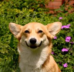 Welsh Corgi Pups And Aussie Corgi Hybrids - Dog Breeders