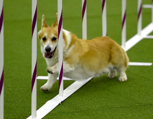 Djcorgis Kennel - Dog Breeders