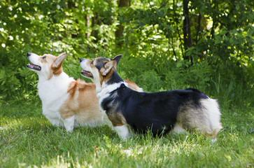 Akc Pem. Welsh Corgis - Dog Breeders