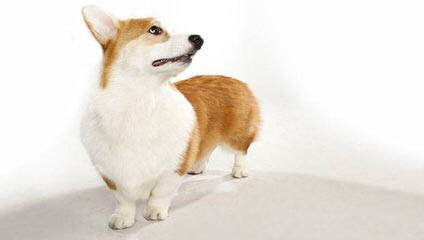 Copica Puppies Available Pembroke Welsh Corgi - Dog Breeders