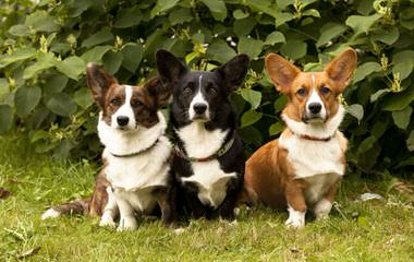 Andrews Pembroke Welsh Corgi's - Dog Breeders
