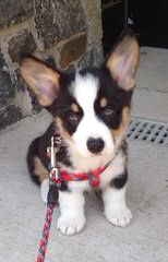 Welsh Corgi Pups And Aussie Corgi Hybrids - Dog and Puppy Pictures