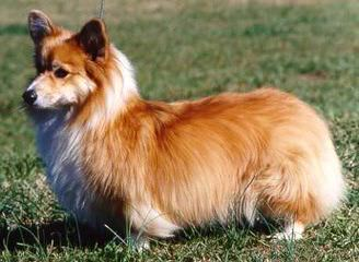 Djcorgis Kennel - Dog Breeders