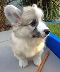 Great Basin Corgi's - Dog and Puppy Pictures