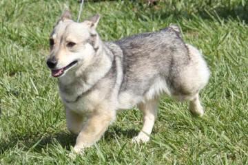 Dogwood Cove Corgis - Dog Breeders