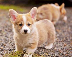 Windy Corner Corgis N Aussies Too - Dog and Puppy Pictures