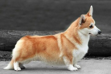 Pembroke Welsh Corgis Of Pleasantstone - Dog Breeders