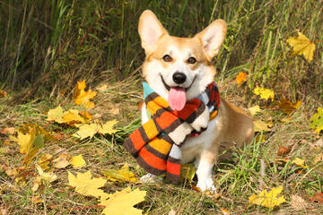 Jan's Best Corgis - Dog Breeders