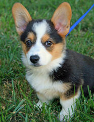 Two Akc Tri-Colored Welsh Corgi Pups - Dog Breeders