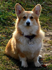 Djcorgis Kennel - Dog and Puppy Pictures