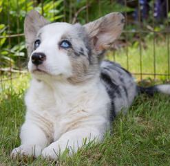 Pembroke Welsh Corgis - Dog Breeders