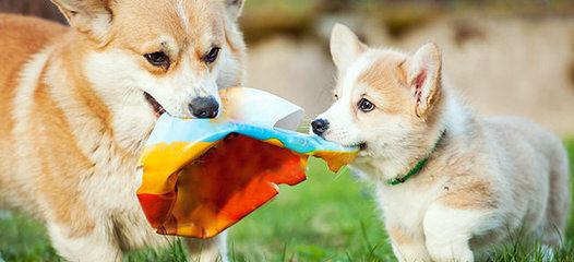 Two Akc Tri-Colored Welsh Corgi Pups - Dog Breeders