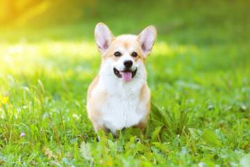 Great Basin Corgi's - Dog Breeders