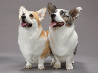 Rockin D Welsh Corgis - Dog and Puppy Pictures