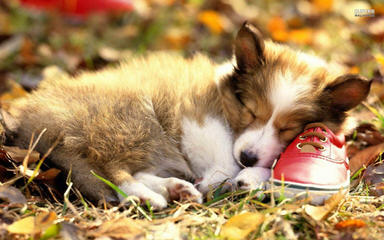 Santa Margarita Corgis - Dog and Puppy Pictures