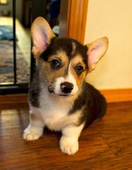 WMFCORGIS - Dog Breeders