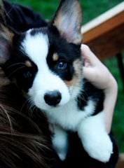 Pembroke Welsh Corgi - Dog Breeders