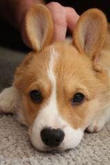 Windy Corner Corgis N Aussies Too - Dog Breeders