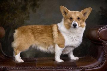Great Basin Corgi's - Dog Breeders