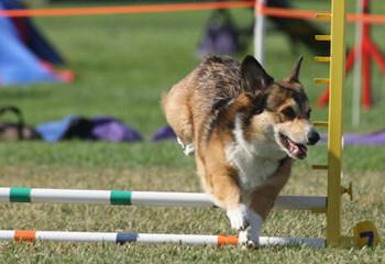Copica Puppies Available Pembroke Welsh Corgi - Dog Breeders