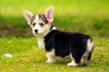 Jan's Best Corgis - Dog and Puppy Pictures