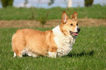 Windy Corner Corgis N Aussies Too - Dog Breeders