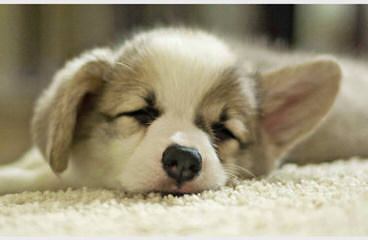Tailwind Corgis - Dog Breeders