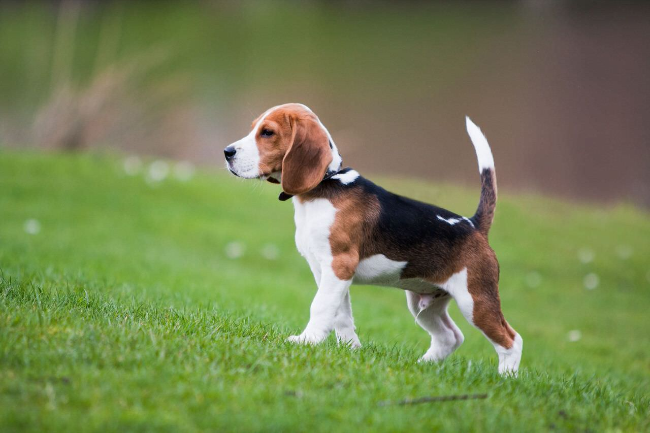 Pocket Beagle Dogs and Puppies
