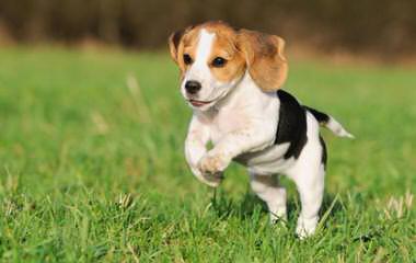 Nicodemis Johnson Pocket Beagle - Dog Breeders