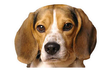 Rocky Mountain Pocket Beagles - Dog Breeders