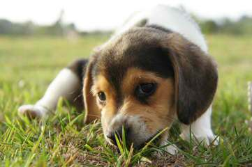 Whitby Winds Pocketbeagles Illinois - Dog Breeders