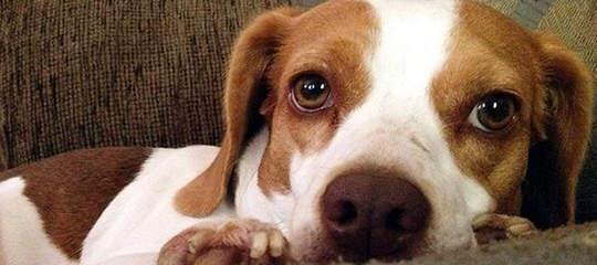 Pocket Beagle Puppies For Sale Pocket Beagle Dog Breeders