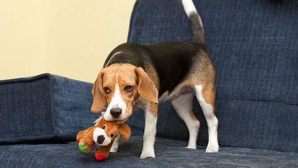 Catch A Dream Kennel - Dog Breeders